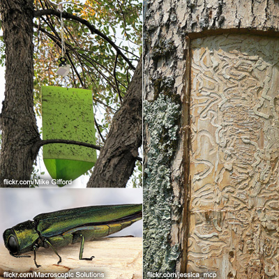 What You Need to Know About the Emerald Ash Borer
